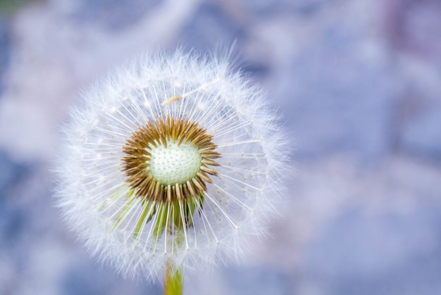 Soft focus of a fluffy dandelion