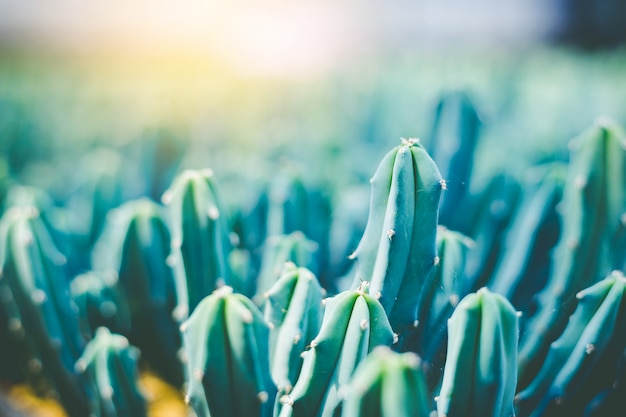 Soft focus green cactus close up bunny ears cactus or opuntia microdasys blur background