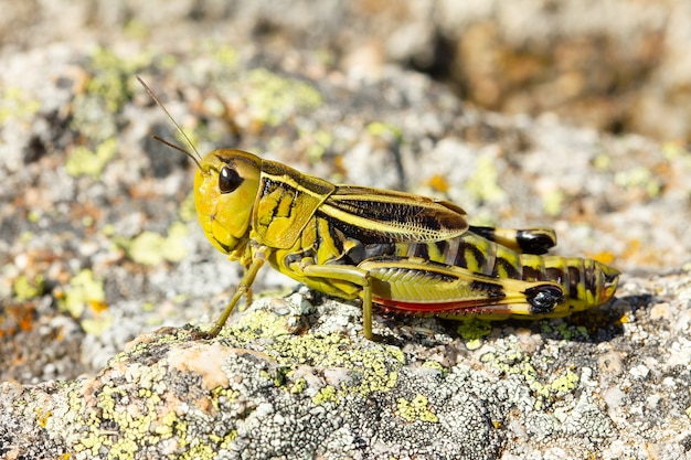 Soft focus of a green grasshopper on a rock on a sunny day