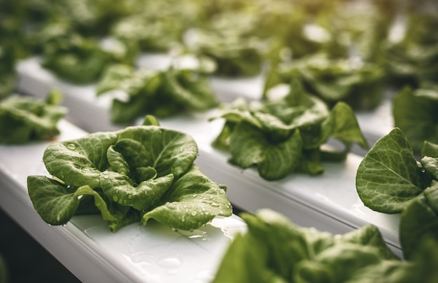 Soft focus of green organic lettuce leaves with water drops growing in hydroponic tanks in modern agricultural greenhouse