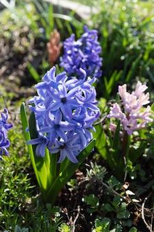 春に咲くヒヤシンスの花のソフトフォーカス画像。青いヒヤシンスの花。
