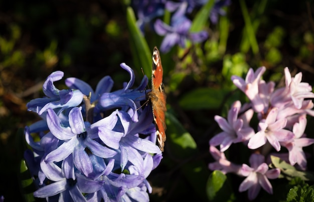 春に咲くヒヤシンスの花のソフトフォーカス画像。花に蝶と青いヒヤシンス。