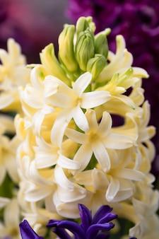 春に咲くヒヤシンスの花のソフトフォーカス画像。美しい色とりどりのヒヤシンスのグループ