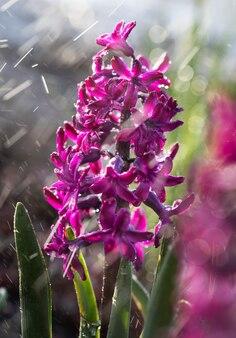 春に咲くヒヤシンスの花のソフトフォーカス画像。雨の中で水滴と紫色のヒヤシンス