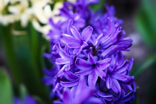 春に咲くヒヤシンスの花のソフトフォーカス画像。紫のヒヤシンスの花。