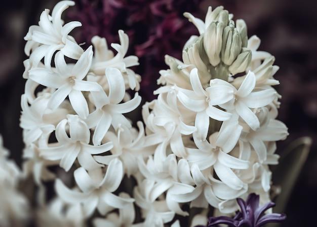 春に咲くヒヤシンスの花のソフトフォーカス画像。白いヒヤシンスの花。