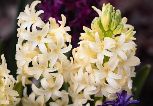 春に咲くヒヤシンスの花のソフトフォーカス画像。黄色いヒヤシンスの花。