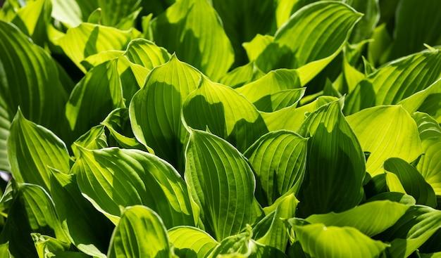큰 녹색 잎의 소프트 포커스 이미지입니다. 자연 녹색 질감 배경