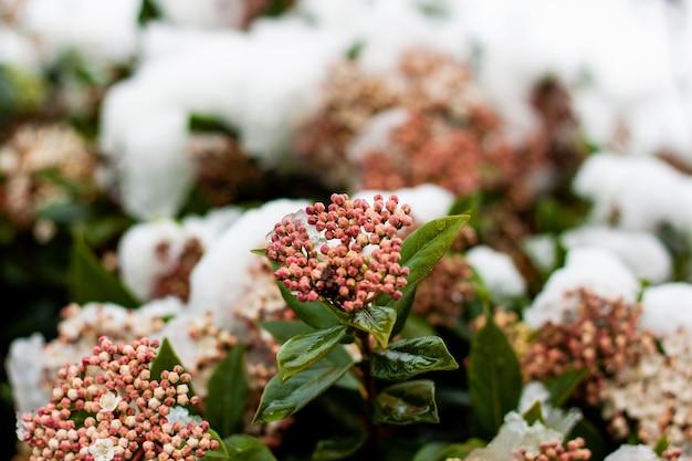 冬の間のピンクの花のつぼみの束のソフトフォーカス