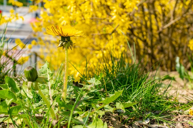 Мягкий фокус растения одуванчик с желтым цветком на фоне желтых деревьев в парке