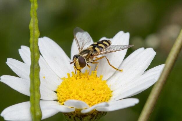 정원에 있는 데이지 꽃에서 꿀과 꽃가루를 모으는 호버플라이의 부드러운 초점