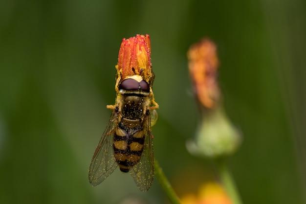 정원에 있는 오렌지 꽃에서 꿀과 꽃가루를 모으는 호버플라이의 부드러운 초점