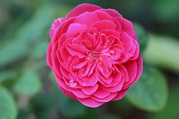 緑の葉と美しいピンクのバラのソフトフォーカス。