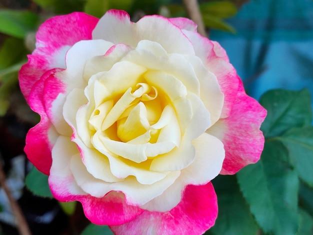 緑の葉と美しい黄色とピンクのバラのソフトフォーカス。