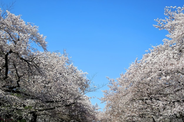 일본의 봄철에 맑고 푸른 하늘 표면에 벚꽃 또는 사쿠라 꽃의 소프트 포커스, 만개