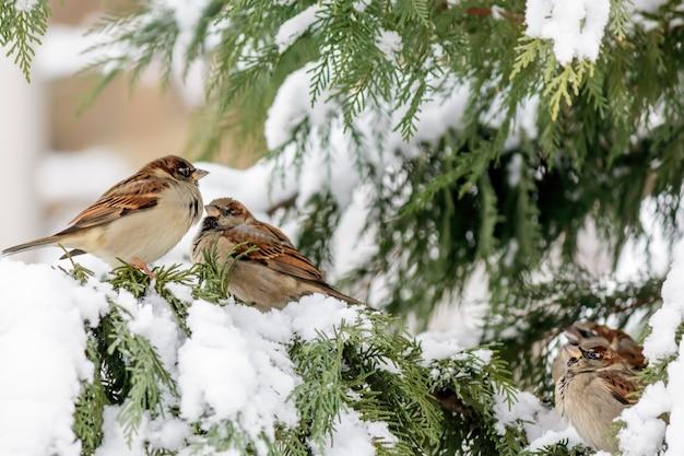 雪のあるヒノキの木にとまるスズメのソフトフォーカス