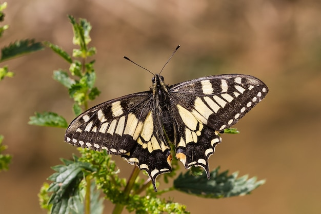 Soft focus of an old world swallowtail butterfly with its black and yellow wings spread out