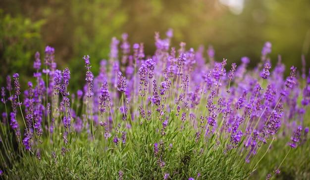 라벤더 꽃, 아름다운 라벤더 꽃에 소프트 포커스