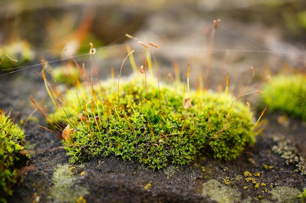 Soft focus of a patch of moss with strings of web, on a rock