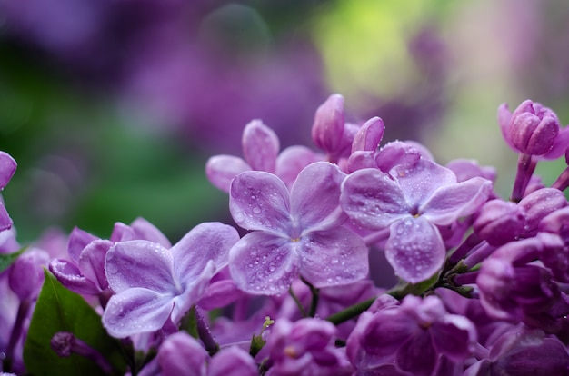 Soft focus picture of bright violet lilac flowers.