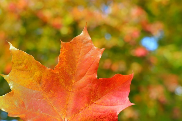 Soft focus of red maple leaf with blurred of colorful tree leaves