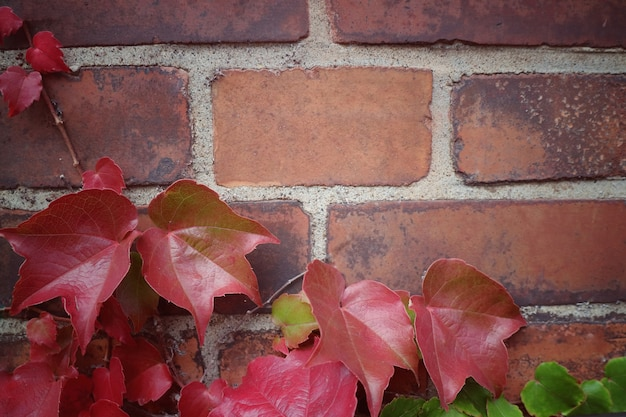 Soft focus of red maple leaves on old brick wall in autumn. vintage style picture.