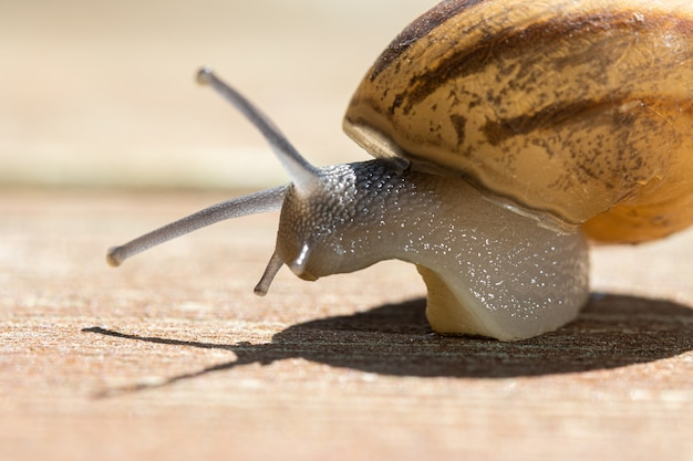 Soft focus of a snail crawling on wooden pavement on sunny day