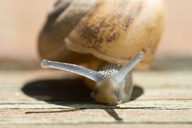 Soft focus of a snail crawling on wooden pavement on a sunny day