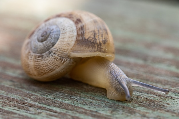 Soft focus of a snail crawling on wooden pavement