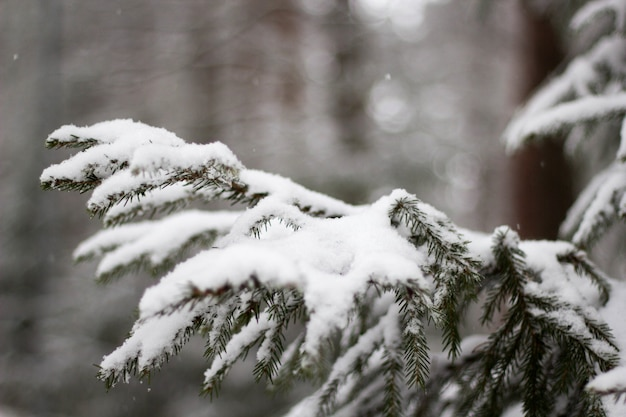 Soft focus of snow-covered spruce tree against a blurry background in winter