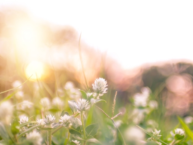 Soft focus wild grass flower ,close up soft focus a little wild flowers grass in sunrise and sunset background warm vintage tone.