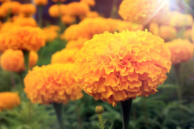 Soft focus yellow flowers on a colorful backdrop [tagetes erecta]