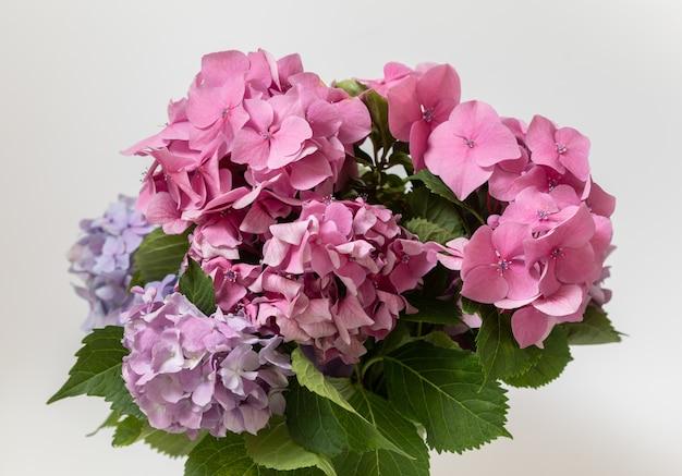 부드러운 수국 또는 hortensia 꽃. 봄철에 피는 꽃.