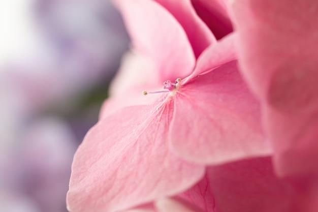 꽃잎에 물 방울과 부드러운 수국 또는 hortensia 꽃. 봄철에 피는 꽃. 매우 얕은 피사계 심도