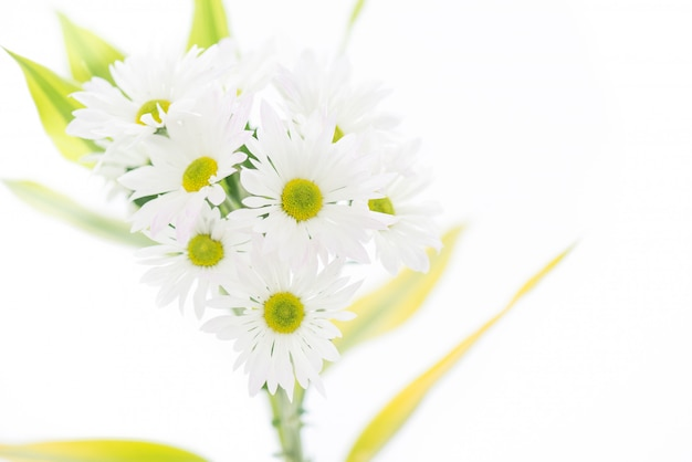 Soft light macro chamomile or camomile flowers isolated on white background