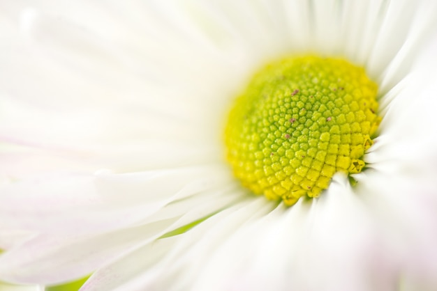 Soft light macro chamomile or camomile flowers