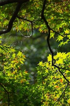 日差しの中でイロハモミジの柔らかな新緑の葉。緑色のカエデの葉のシルエットビュー。挨拶の背景や壁紙の仕事のための自然な鮮度の色。
