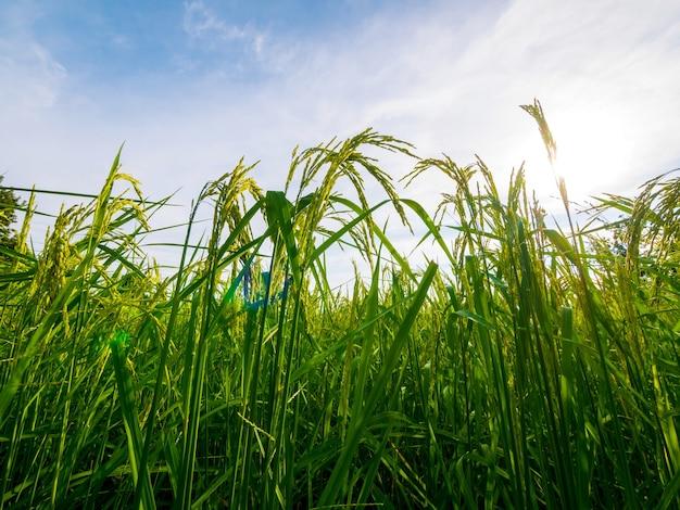 ソフトフォーカス。田んぼと農場の空の風景