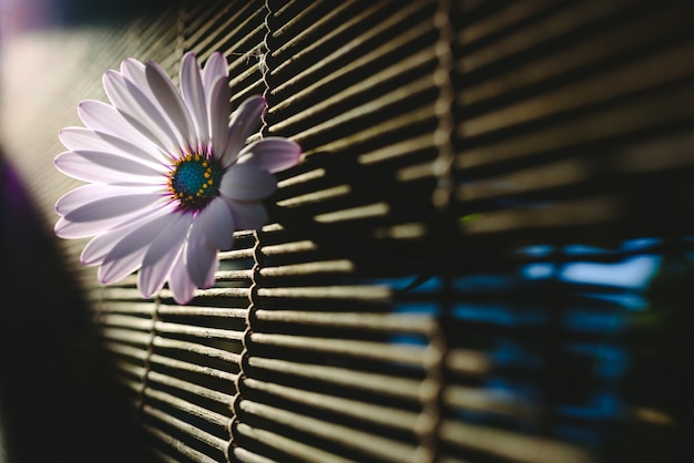 Soft and pink daisies against backlight on a wooden background.