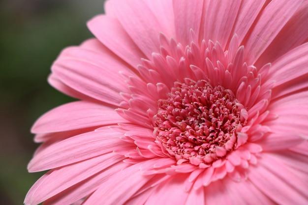 Soft pink gerbera fresh flower beautiufl background