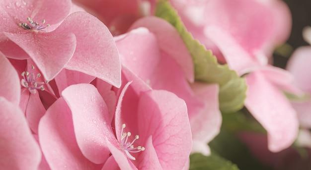 부드러운 분홍색 수국 또는 hortensia 꽃 꽃잎에 물 방울. 봄철에 피는 꽃. 매우 얕은 피사계 심도