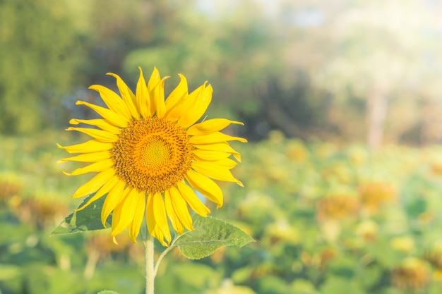 Soft, selective focus of sunflowers, blurry flower for background, colorful plants