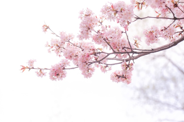 Soft spring background blur blossoming branches of cherry sakura copy space