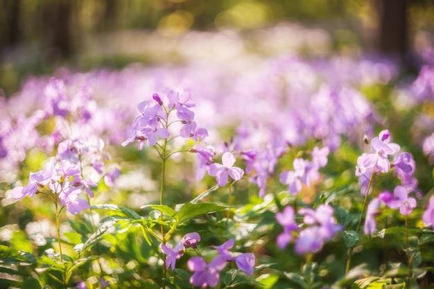 야생 분홍색 꽃, 선택적 초점, 페어리 테일 bokeh와 부드러운 봄 배경