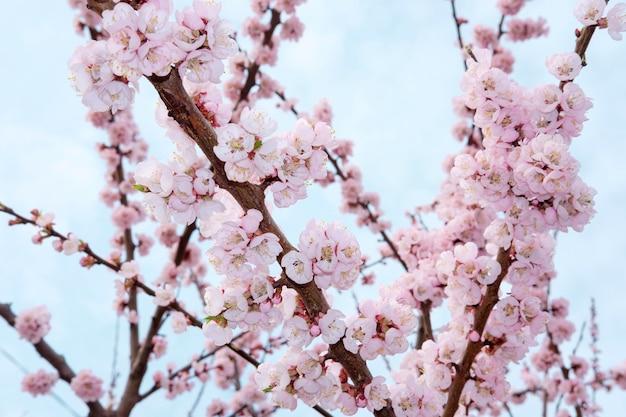 春の青空を背景にそっとピンクの咲く桜の木