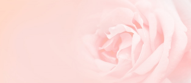 Softness pink rose background.