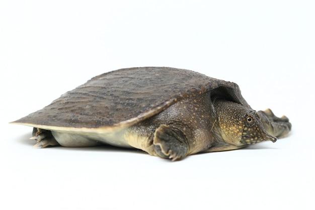 Общая азиатская черепаха softshell изолированная на белизне