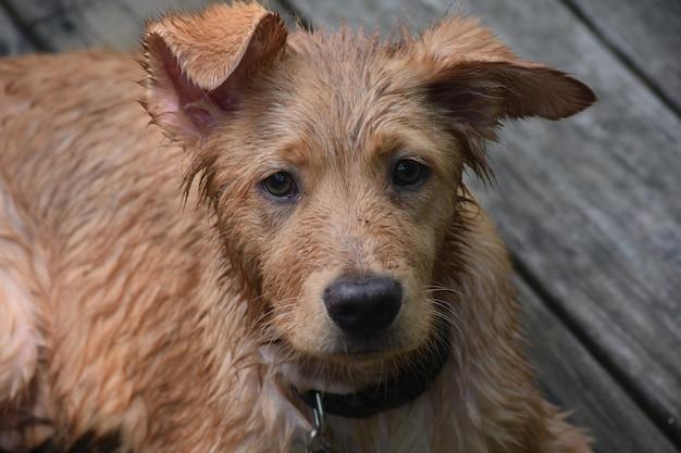 Cucciolo di cane toller bagnato fradicio che stabilisce e riposa su un ponte.