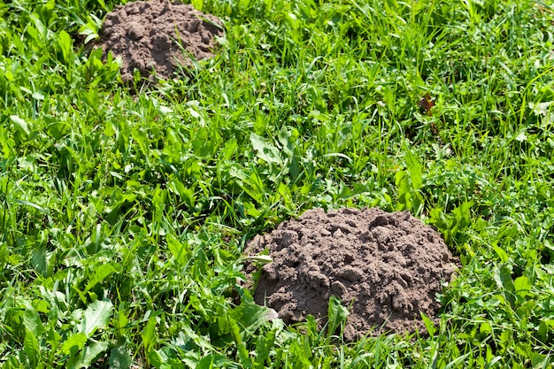 The soil dug by a mole on the territory of a field with grass, molehill on a field with grass from moles