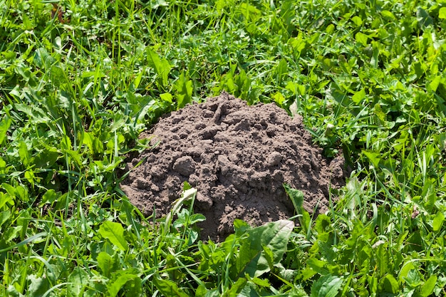 The soil dug by a mole on the territory of a field